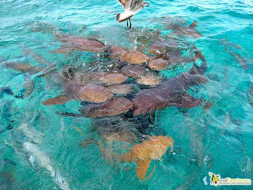 sharks of belize