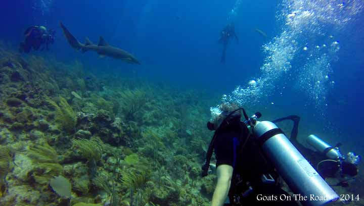 Shark Dive Ambergris Caye Belize