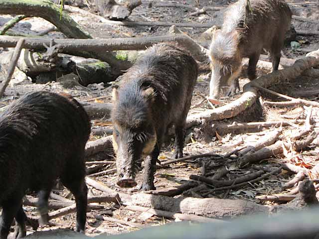 Really, really stinky Peccary. They love their own distinct fragrance.