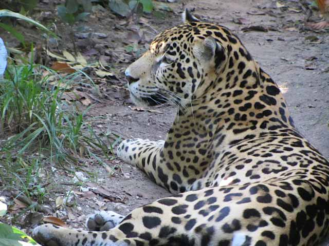 Junior rests in the shade at the Belize Zoo - a rare chance to see a Jaguar