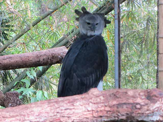 The most magnificent Harpy Eagle