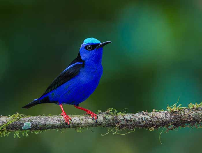 Red-legged-Honeycreeper---Male-1