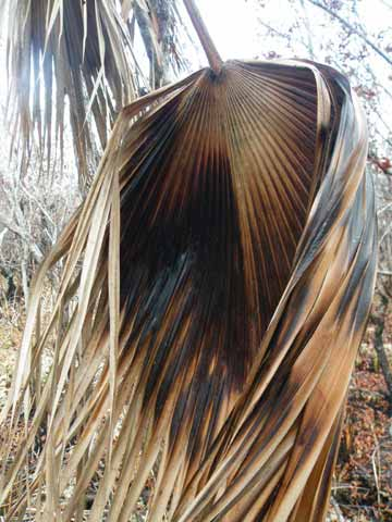 A burned palm frond from oil fire. Photo by: Robin Oisín Llewellyn.