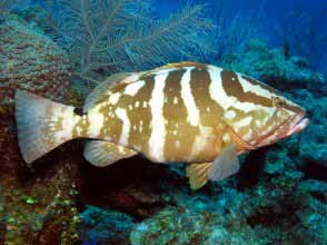 A Nassau Grouper weighs  over 50 lb. and is one of the largest fish of the reef.