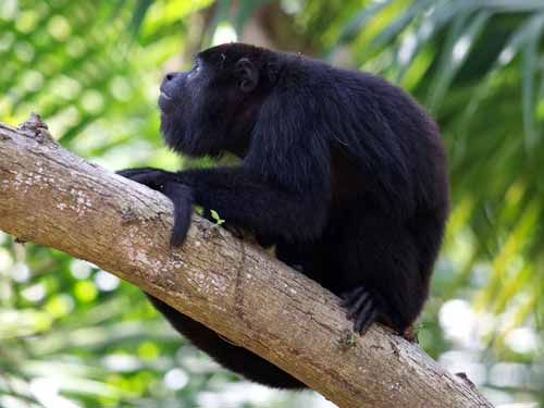 First signs of a returning howler monkey population are providing cause for measured celebration at Ya'axche. Credit: Erik Hammar