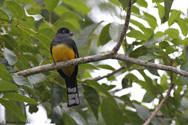 Black-headed Trogon-male; Cattle Landing, Belize