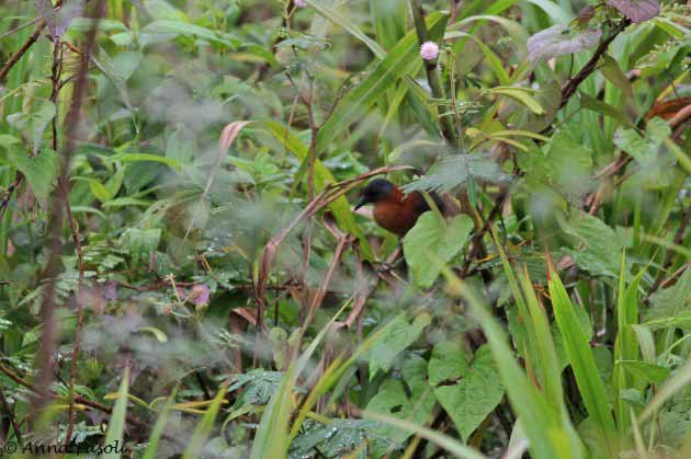 Ruddy Crake; Cattle Landing, Belize