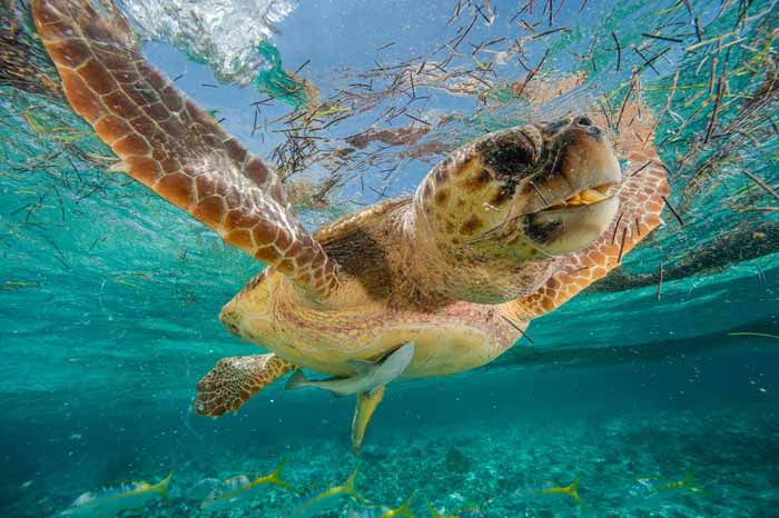Picture of a loggerhead turtle swimming in Hol Chan Marine Reserve in Belize
