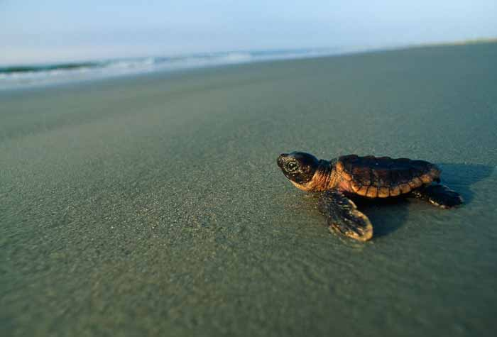 Picture of a baby loggerhead sea turtle headed towards the surf on a beach in Georgia