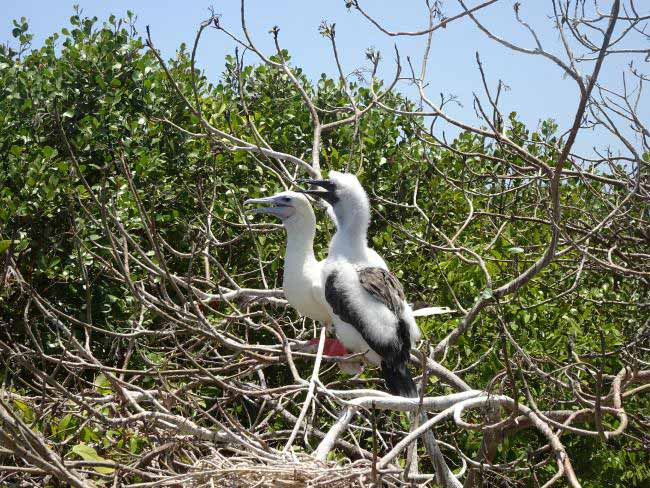 The rare red-footed booby, spotted at Half Moon Caye.