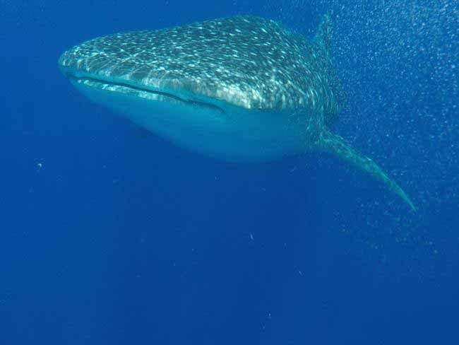 This is the most dangerous things got in Belize — getting up close to whale sharks at Gladden Spit.