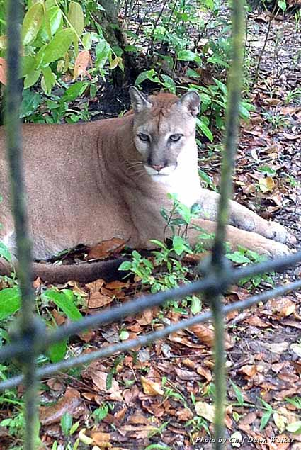 Up close and personal with a large wild puma at the Belize Zoo