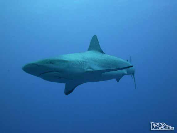 Caribbean Gray Reef Sharks nadam ao nosso lado durante mergulho em Half Moon Wall, perto do Blue Hole, na grande barreira de corais de Belize
