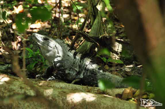 Iguana em Half Moon Caye, perto do Blue Hole, na grande barreira de corais, em Belize