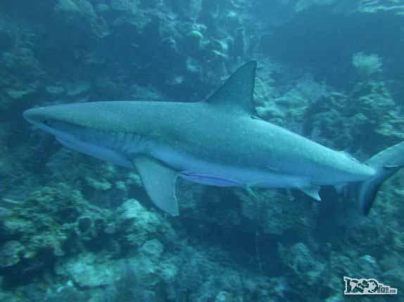 Nadando lado � lado com os bel�ssimos Caribbean Gray Reef Sharks, durante mergulho em Half Moon Wall, perto do Blue Hole, na grande barreira de corais de Belize