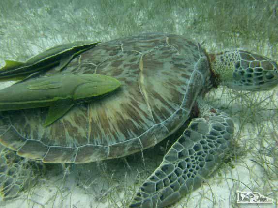 No final do mergulho em Half Moon Wall, perto do Blue Hole, na grande barreira de corais de Belize, ainda encontramos essa tartaruga acompanhada de dois peixes pegando carona em seu casco