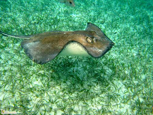 sting rays of belize