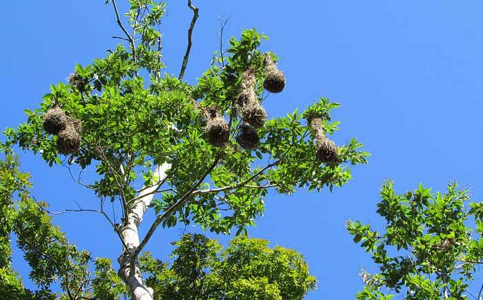 beaver-bird-nest-belize