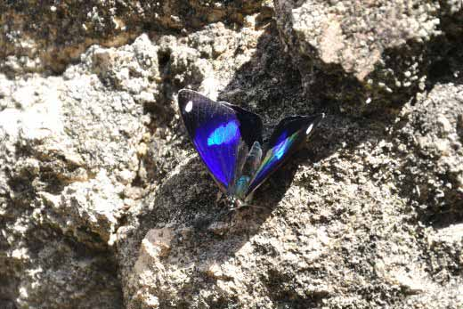 Turquoise-spotted Navy Eighty-eight (Diaethria astala astala)