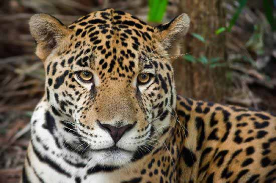 the big cats of belize belize animals caribbean critters