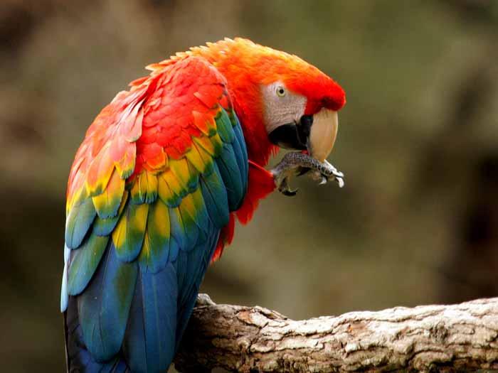 Ara_macao_-Fort_Worth_Zoo-8