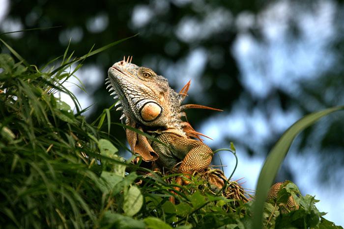 Iguanas Or Lizards Belize Animals Caribbean Critters