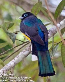 Black-headed Trogan, birds of Belize