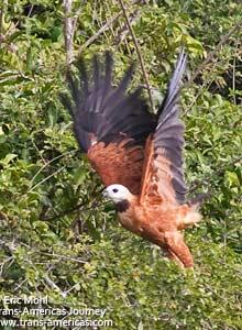 Black-collared Hawk, Birds of Belize
