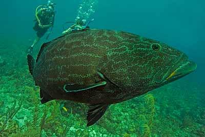 Belize Black Grouper photo courtesy of White Sands Dive Shop