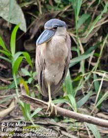Boat-billed Heron, birds of Belize