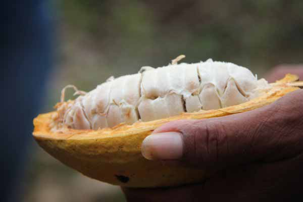 Maya Chocolate Making Process in Belize
