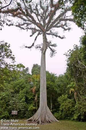 Giant Ceiba at Tikal, Guatemala