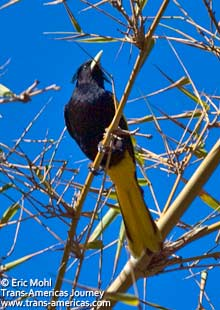 Chestnut-headed Oropendola, birds of Belize