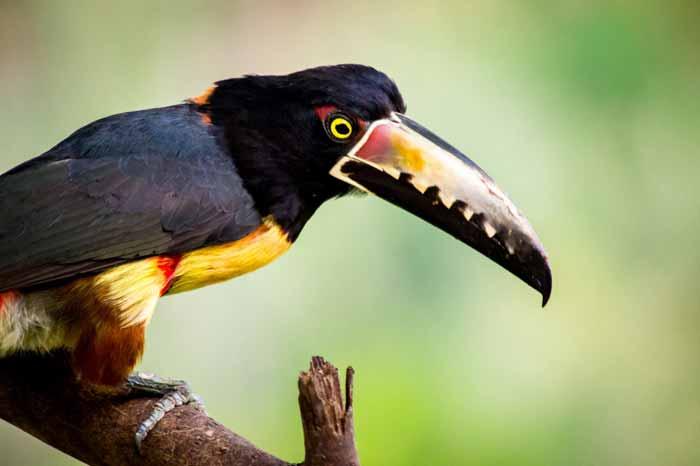 Collared Aracari (2)
