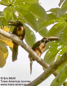 Collared Aracari, birds of Belize
