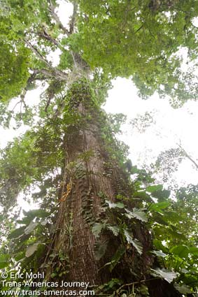 Giant ceiba tree in Costa Rica