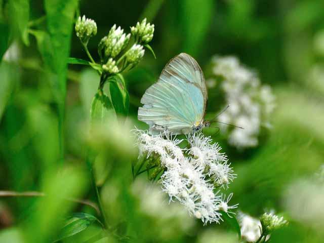 Cross-barred White Butterfly