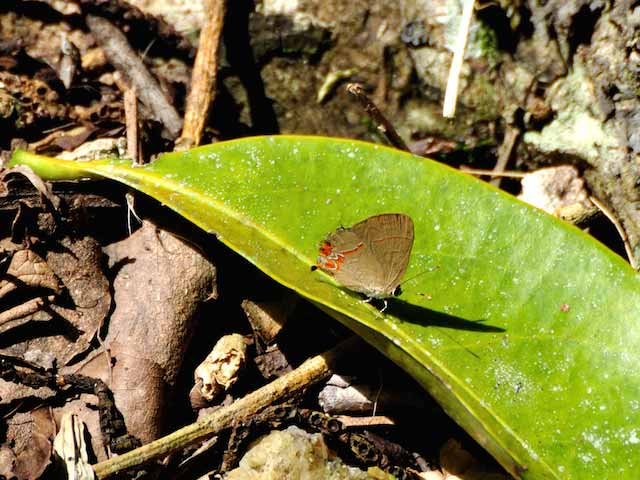 Dusky-blue Groundstreak Butterfly