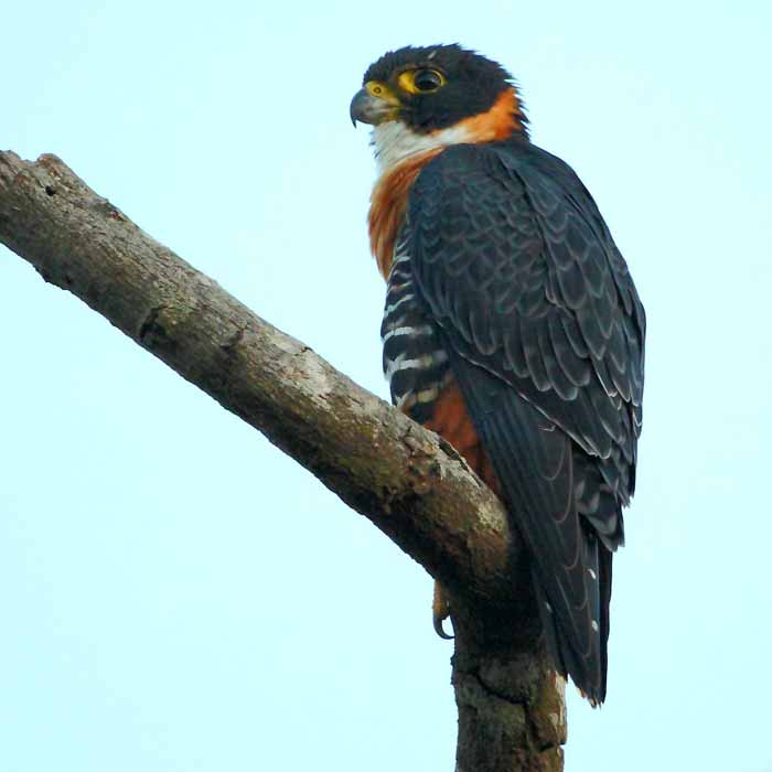 Falco_deiroleucus_-_Orange-breasted_Falcon