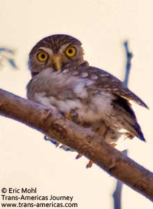 Ferruginous Pygmy Owl, Birds of Belize