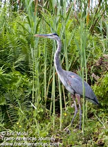 Great Blue Heron, birds of Belize