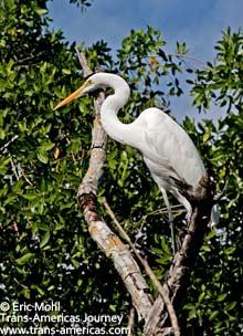 Great Egret, birds of Belize