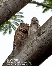 Great Potoo adult + juvenile, birds of Belize