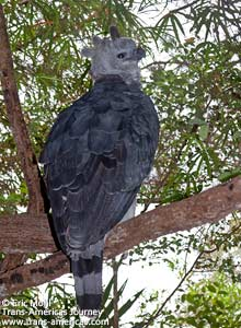 Harpy Eagle, Birds of Belize