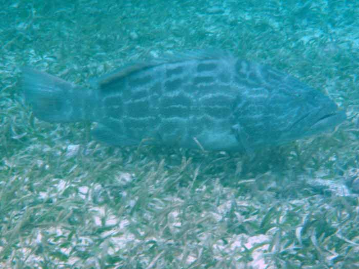 Snorkeling Hol Chan Grouper