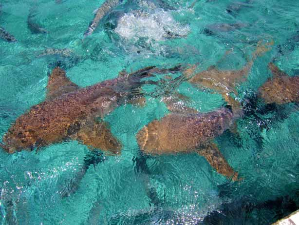 swim with sharks hol chan marine reserve belize