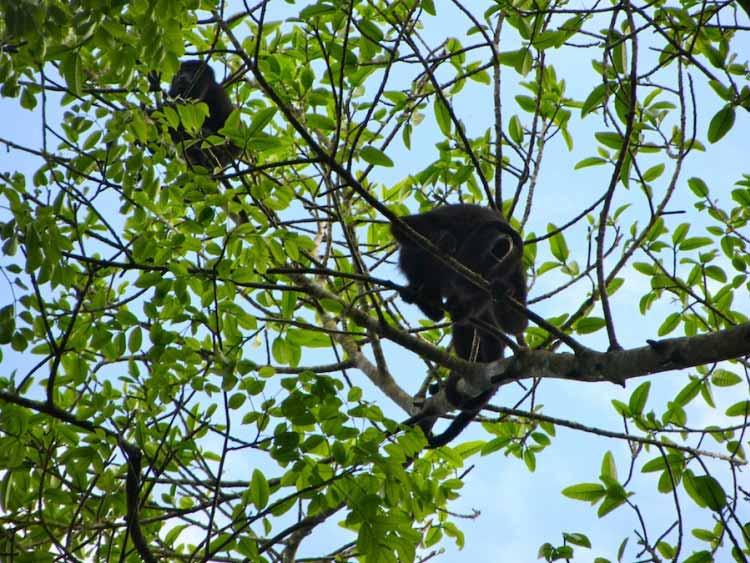 Howler monkeys at Xunantunich