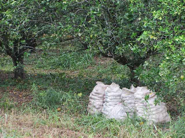 Huges bags of Valencia Oranges grown in Belize