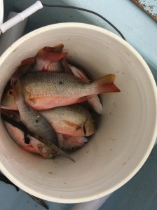 And for the winners ... a bucket full of Red Snapper