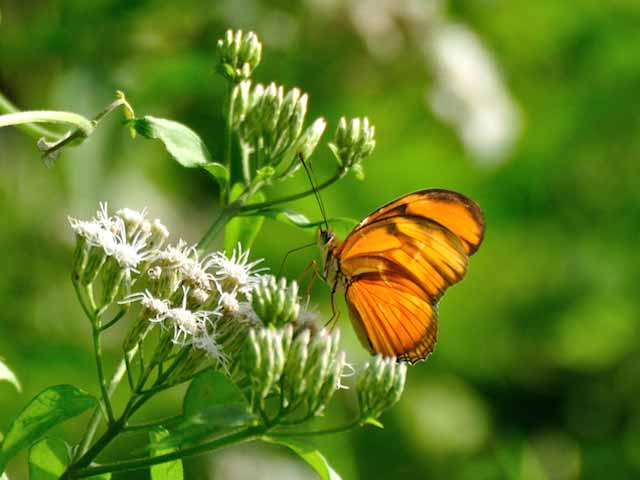 Juno Heliconian Butterfly